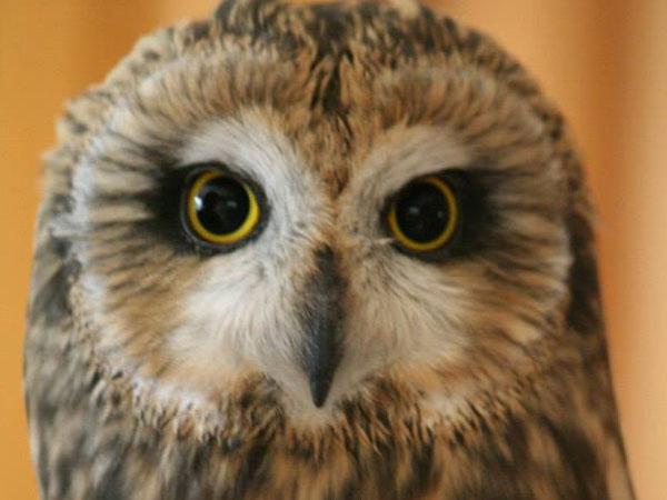 Sweetgrass, a Short-Eared Owl