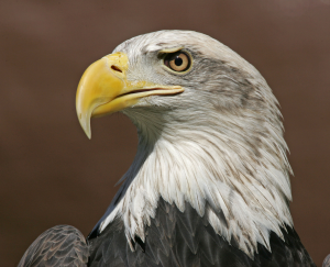Thunderin' Ben the Bald Eagle