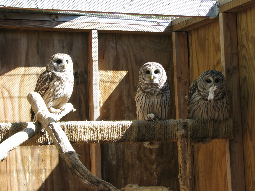 Rehabilitated Barred Owls in their enclosure, shortly before release.