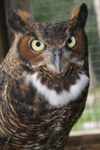 Mowgli the Great Horned Owl