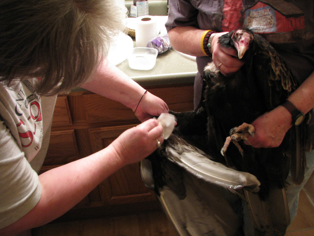Laura Edmunds and Patti Reynolds tend to an injured Turkey Vulture