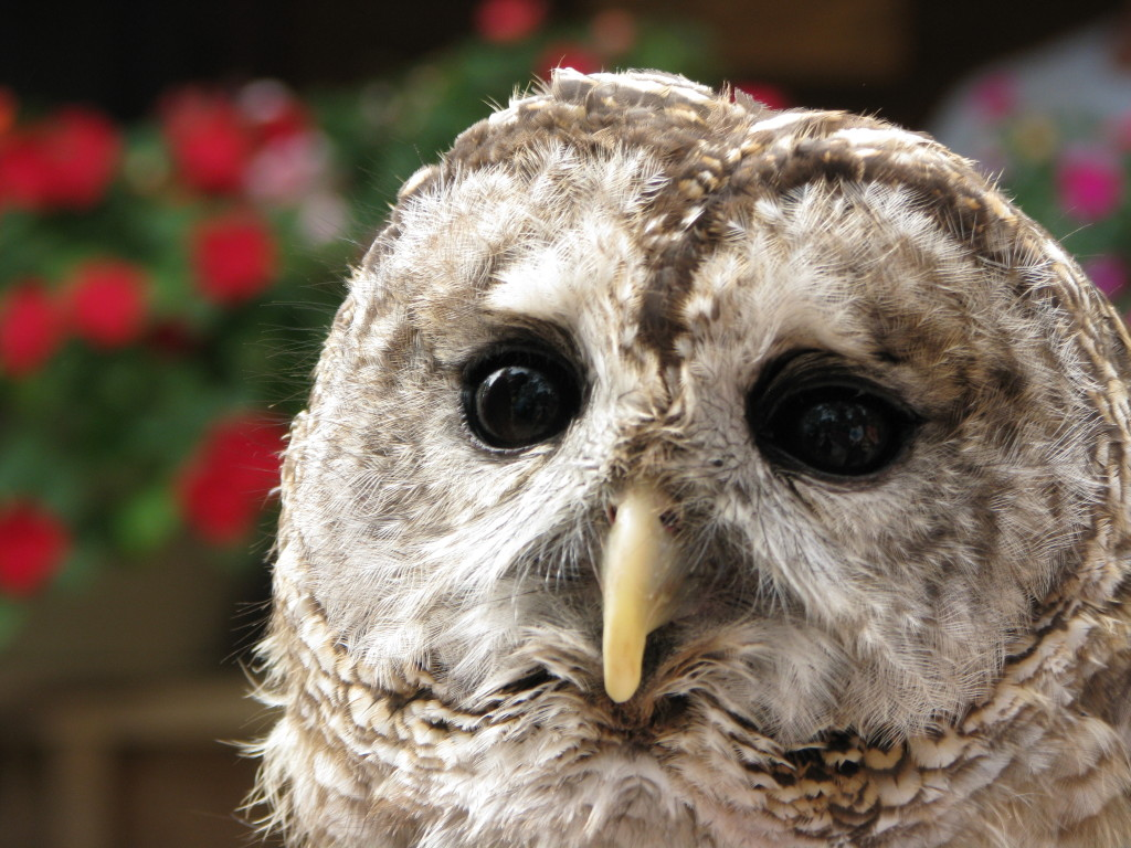 Moonshine the Barred Owl