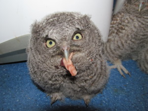 A baby owl eats a mouse