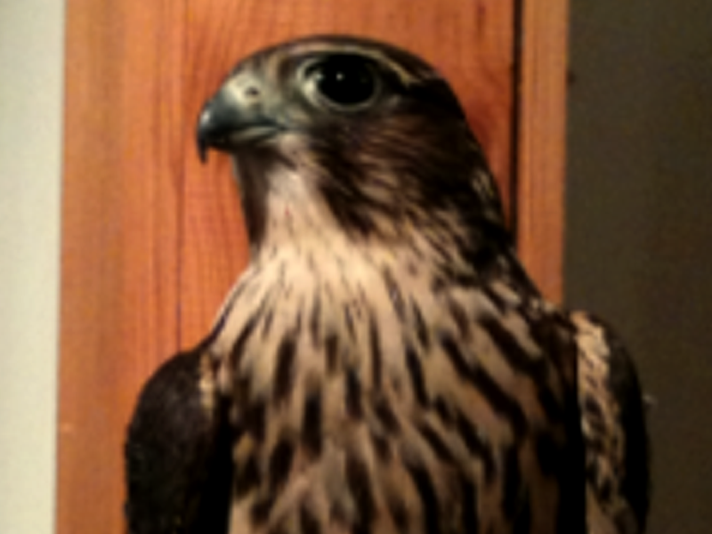 Brandeau the Merlin