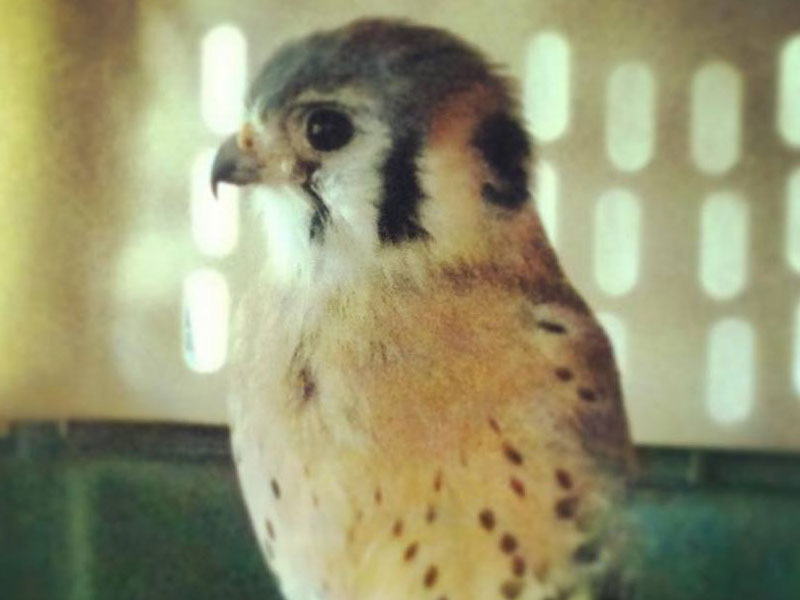 Simon the American Kestrel