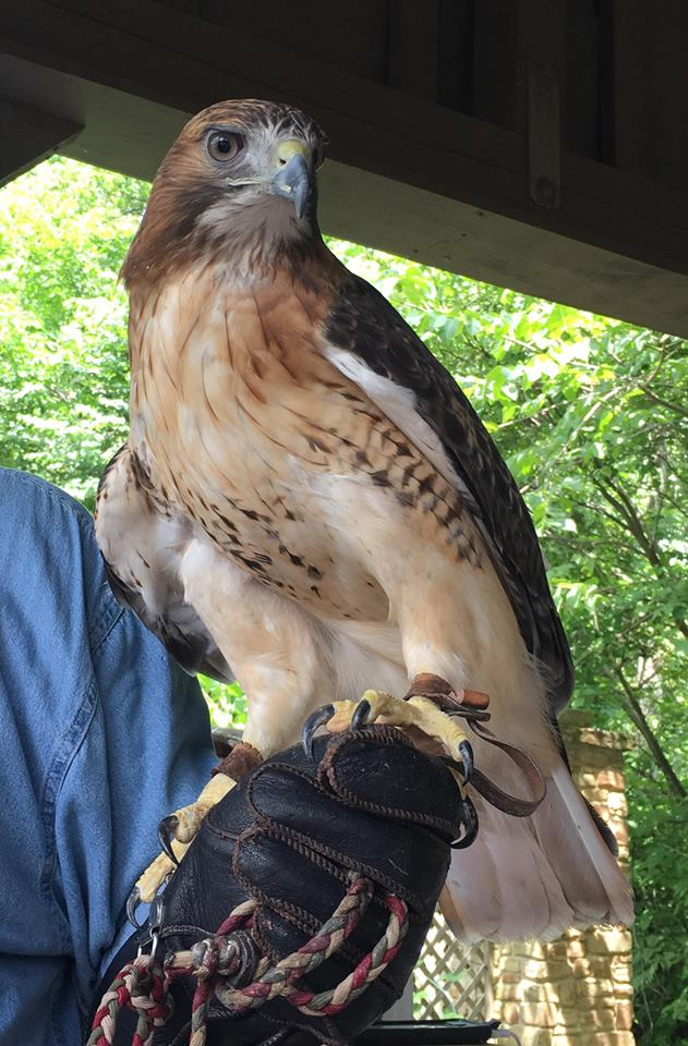 A red-tailed hawk poses for the attendees of an Indiana Raptor Center presentation at Brown County State Park