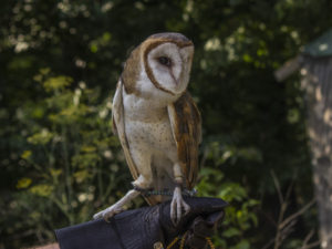 Tattooine, a barn owl, poses on Domonic Potorti's glove.